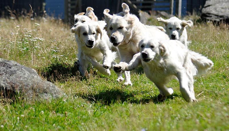 första-sidan-hundar