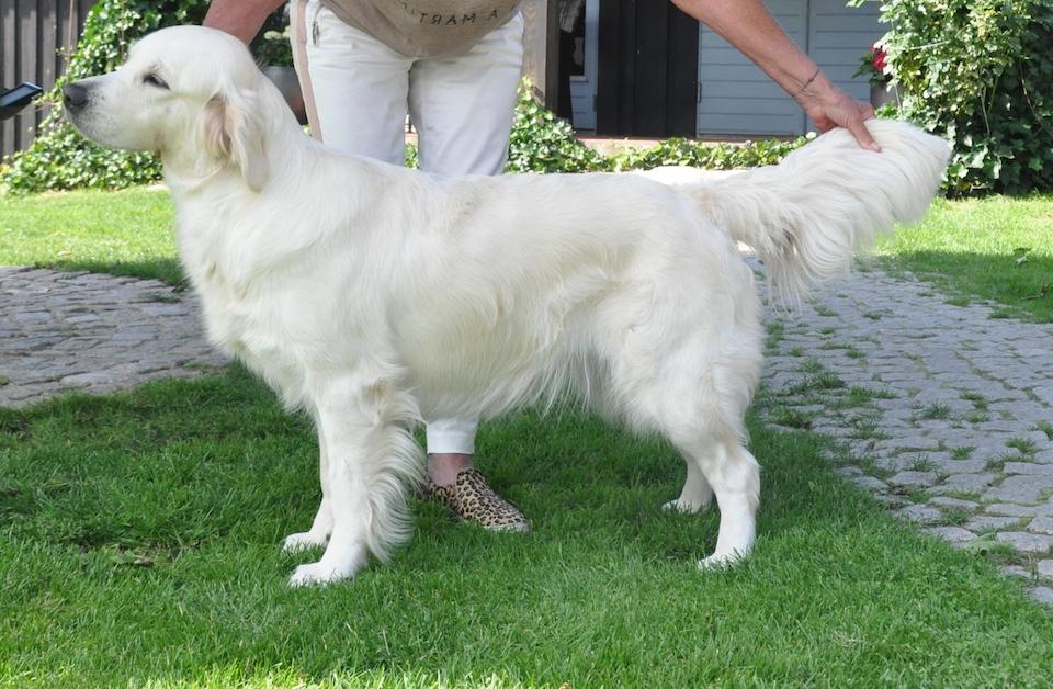 Golden Canina Oxhagens Lisa